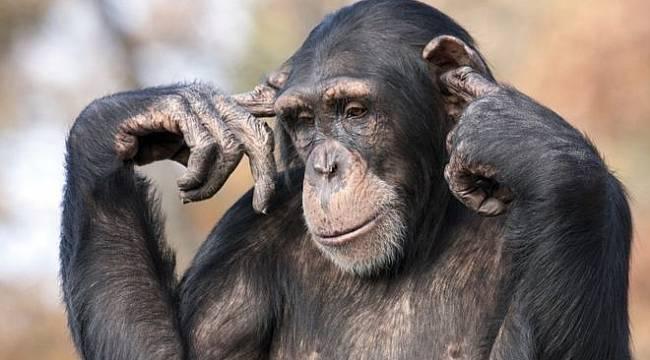 Şempanzelerden politika hakkında öğrenebileceğimiz 5 şey