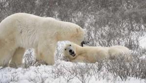 Rusya'da kutup ayıları şehre indi, acil durum ilan edildi