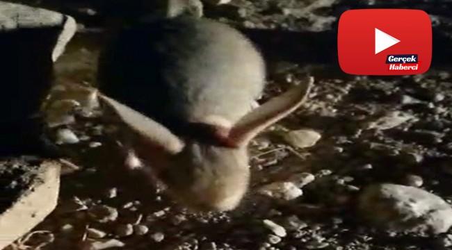 Dünyanın en ilginç 19 hayvanından biri Erzincan'da görüntülendi