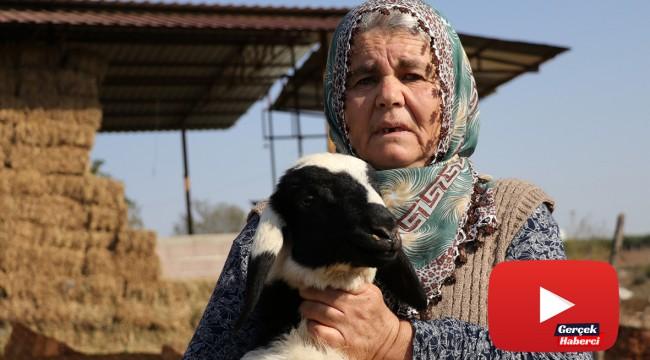 Koyunları çalınan Ayşe teyze, 'Koyunlarımı geri getirsinler' diye gözyaşı döktü
