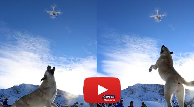 Havadaki droneyi yakalamaya çalışan köpek ilginç görüntü oluşturdu
