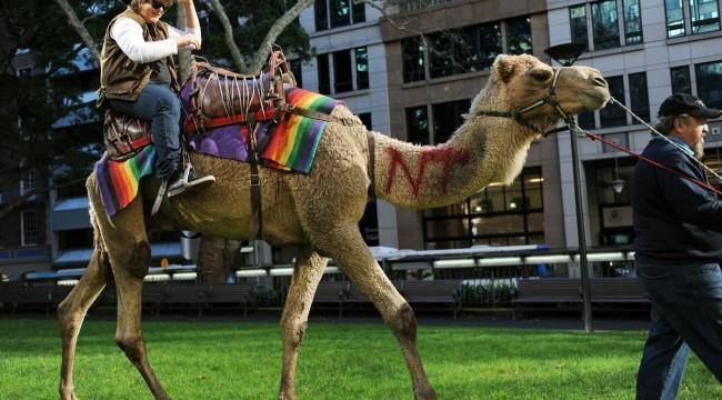 Yanıp kavrulan Avustralya'da su ararken insanlara verdikleri rahatsızlık gerekçesiyle 5 bin deve katledildi