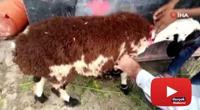 Üzerine koyun yünü yapıştırılan keçiyi kurbanlık koyun diye sattılar