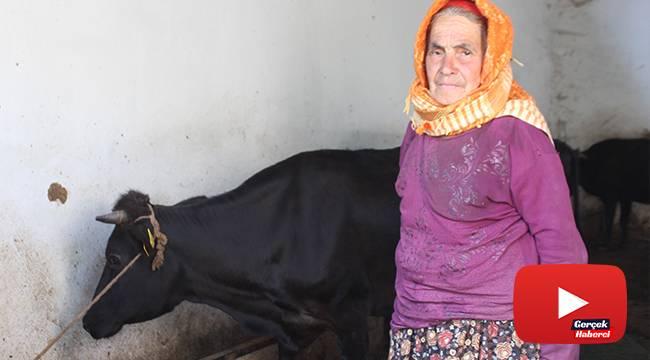 Sabiha Teyze inekleri ile mutlu bir bayram geçiriyor